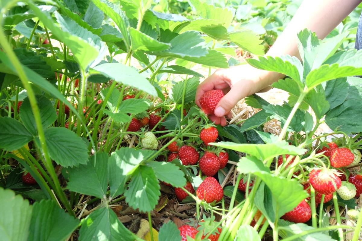 Werbung | Erdbeermarmelade kochen - mit SweetFamily Bio-Gelierzucker